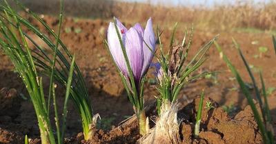 Nhụy Hoa Nghệ Tây (Saffron) là gì: Thảo dược cho Sức Khỏe và Sắc Đẹp
