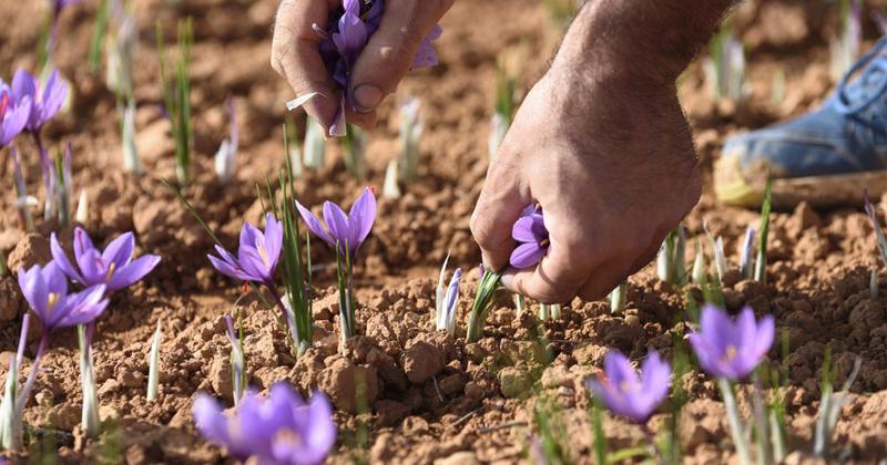 Xuất xứ nhụy hoa nghệ tây là ở nước nào?