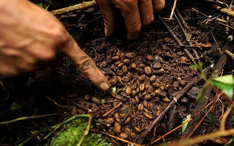 Quytrình sản xuất cà phê chồn