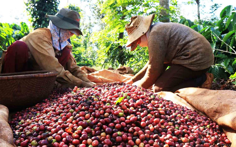 Tìm hiểu chung về cà phê Chồn ở Việt Nam